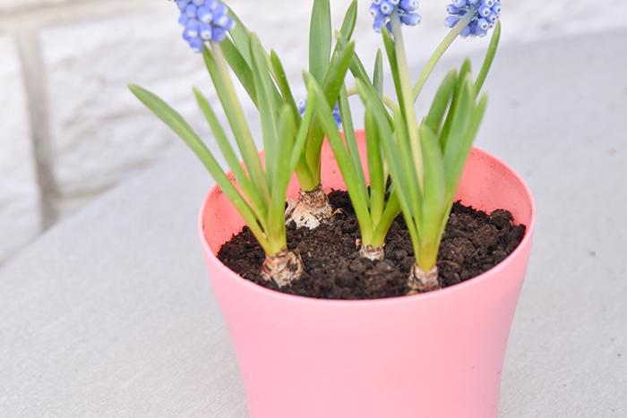 球根の頭が土から見えるように植えます。ポットから取り出す前に、買った時の苗を一度観察してみましょう。