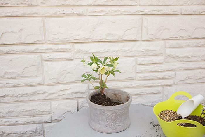 最初にクリスマスローズを後方に植える。花は下を向いているが、向きを変えずに下向きのまま植える。