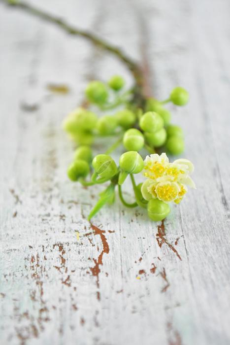 アオモジのつぼみの状態の時の青い皮の部分は、ガクではなく苞(ホウ)と呼ばれるものです。  青緑色の実のようなつぼみが開花直前になると黄緑になり、苞がはじけて複数の花が顔をのぞかせます。アオモジの花色は一般的には薄い黄色と表現されることが多いですが、たくさんのめしべが黄色いので黄色く見えます。白い花なのか黄色い花なのか、ちょっと表現しづらいアオモジの花色です。  アオモジは枝にきちんと水があがっていれば花の開花まで楽しめます。とても小さな粒から可愛らしい花が咲いた時は春の訪れを感じてしまいます。