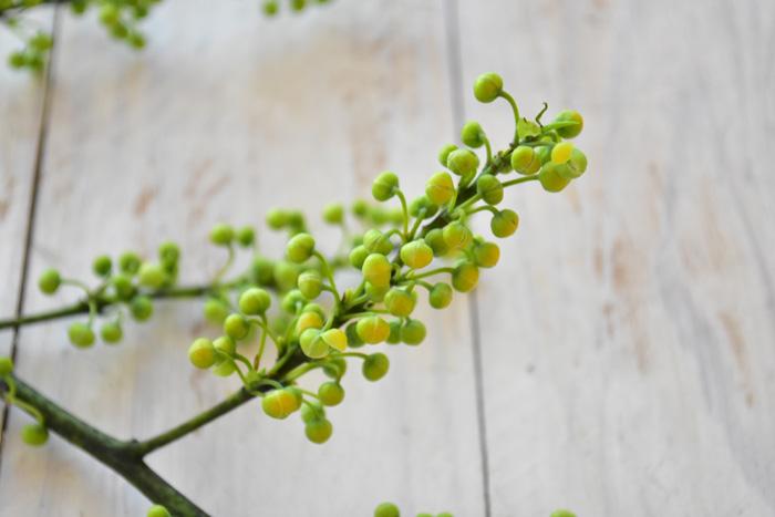 初めてこの実を見る方は、花の後の実と思ってしまう方もいるかもしれませんが、この青い小さな粒々はつぼみ。この粒々がはじけるように開き、花が開花します。  アオモジは香りもあり、花の後の果実を原料とした精油(エッセンシャルオイル)もあります。精油としての名前は、「メイチャン」や「リッツェアクベバ」という名前で売られています。香りは、レモンやレモングラスに似た香りと表現され、とても爽やかな香りの精油です。  アオモジは、生花の状態では生けているだけでは香りはしませんが、つぼみをつぶしてみると、柑橘系のよい香りがします。今回も一粒つぶしてみたら、潰したてはキリッとした香り、その後に柑橘系の爽やかな香りがしてきました。  花や実など植物の香りは、フレッシュの状態とドライの状態だと香りがかなり変わります。機会があったらアロマショップでアオモジの精油の香りも体験してみてはいかがでしょうか。