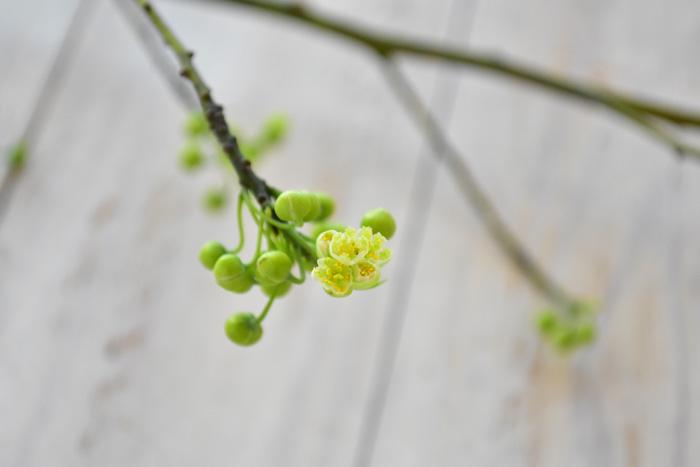 アオモジは雄花と雌花が違う植物で、花屋さんに出回るのは雄花です。  このアオモジの花は、とても面白い特徴があります。