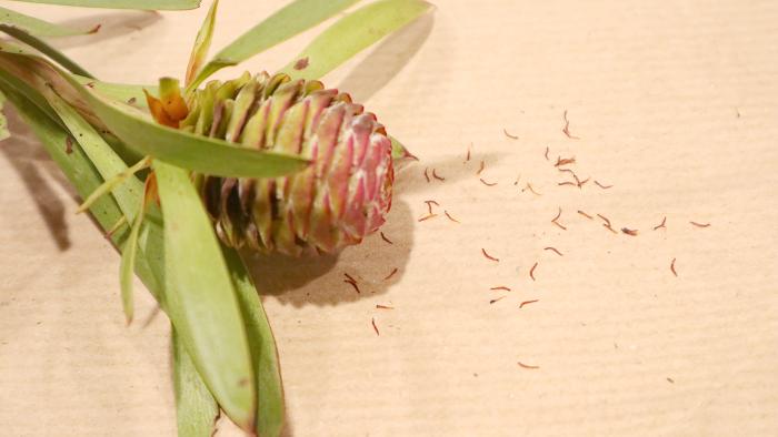 この開いたリューカデンドロンから種が出てきます。  そんな変化を観察してみるのも植物を楽しむ醍醐味になりそうですよね!