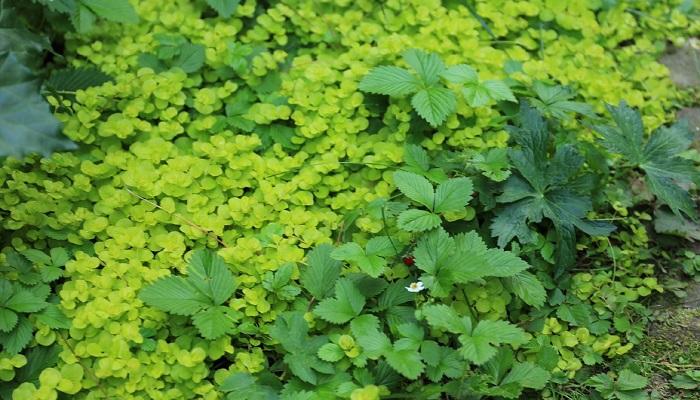 お庭って水やりしなくても生きるんです。植物の特性さえわかっていれば、将来これぐらい大きくなるだろうとか、株がこれぐらい広がるな、など先のことがわかるようになります。除草はしなくていいように最初に考えて庭を作ります。グランドカバーはたくさん使います。