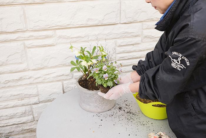 ビオラを器の左前方へ植える。後方の株と株の空いているところにムスカリを植える。
