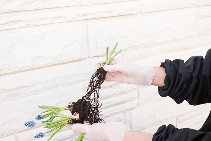 土を崩し、根の状態をチェックします。カビが発生している場合は、寄せ植えには使用しないでください。絡まった根を切れないように優しく丁寧にほどいて、球根ごとに分けます。