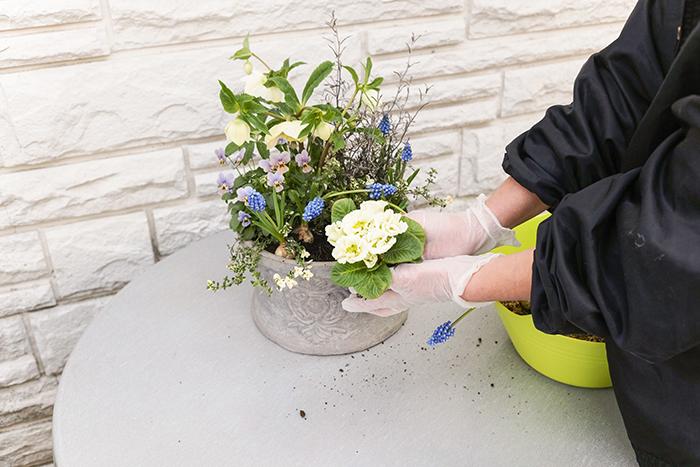 最後にプリムラを手前中央に植え、土を入れて整える。寄せ植えの地際が見えるとより季節感が出る。
