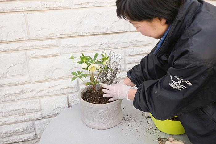コロキアの枝はクリスマスローズにからませながら、添えるように隣に植える。