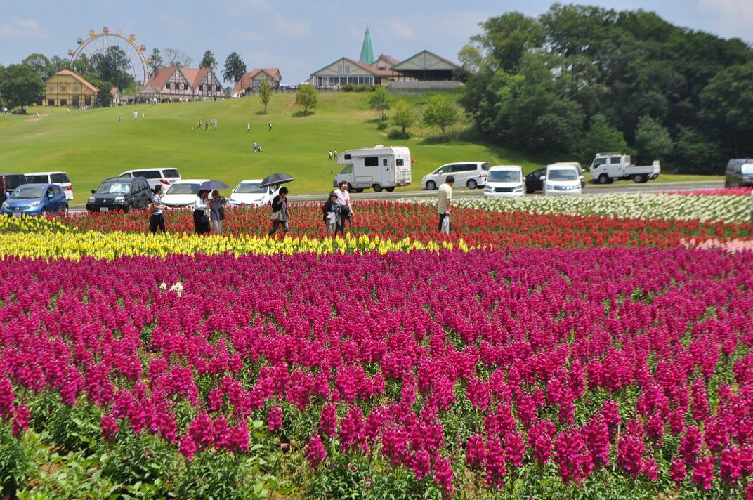 東京ドイツ村では今、春のバラと同時にキンギョソウも見ごろを迎えています。その数なんと7万株!国内でも最大規模です。整然と植えられたカラフルでかわいいお花をバラと一緒に楽しみましょう。