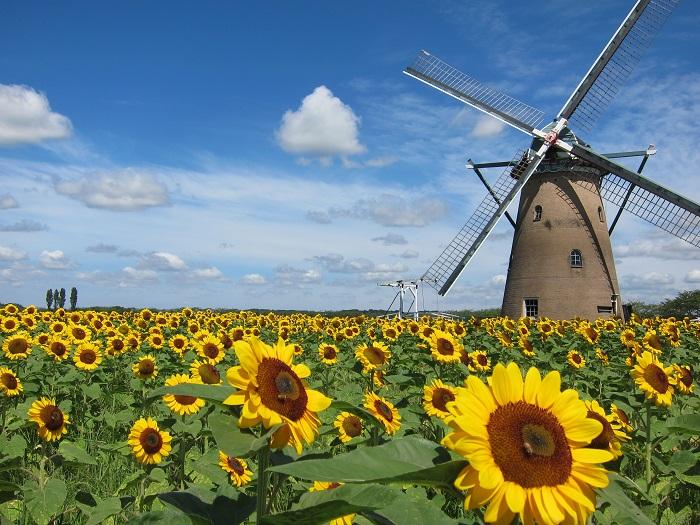 千葉県佐倉市で開催される「佐倉ふるさと広場・風車のひまわりガーデン」。このスポットの特徴は何といってもオランダ風車とひまわりの織りなす風景です。この風車は名前を「リーフデ」といい、内部を見学することができます。