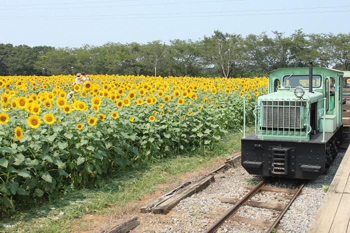 ▼牧場内にある本物の線路「まきば線」。トロッコ列車から眺めるひまわりは圧巻です。(※この場所での開催は8月初旬~中旬予定です)