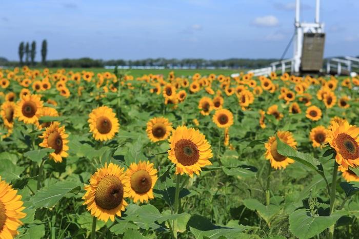 7月22日(土)~23日(日)の期間、一人3本まで摘み取りができます。  はさみとビニール袋をお持ちください。    ▼印旛沼(いんばぬま)湖畔のひまわり畑は見晴らしも最高です。