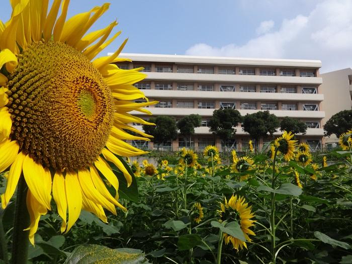 千葉県船橋市にある金杉小学校の南側の敷地には、約2万本ものひまわりが植えられています。ひまわりフェスティバル開催日には金杉小学校のベランダからひまわりを眺めることができます。