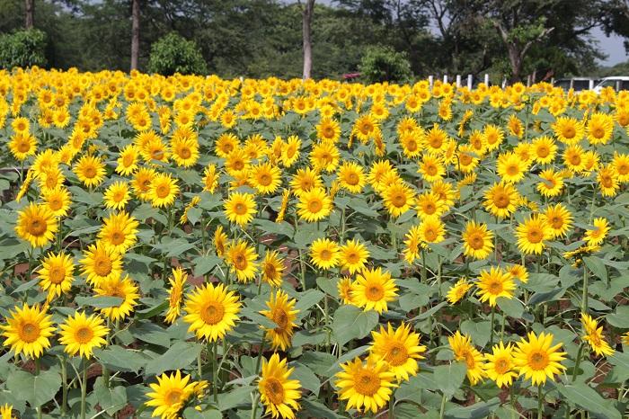 成田ゆめ牧場は千葉県の有名な牧場ですが、じつは季節のお花を楽しめるスポットでもあります。ゆめ牧場には10万本(※右記開催期間総数)ものひまわりからなるひまわり迷路があり、7月上旬~8月下旬まで鮮やかな花を楽しむことができます(7月8日よりひまわり迷路開催予定)。