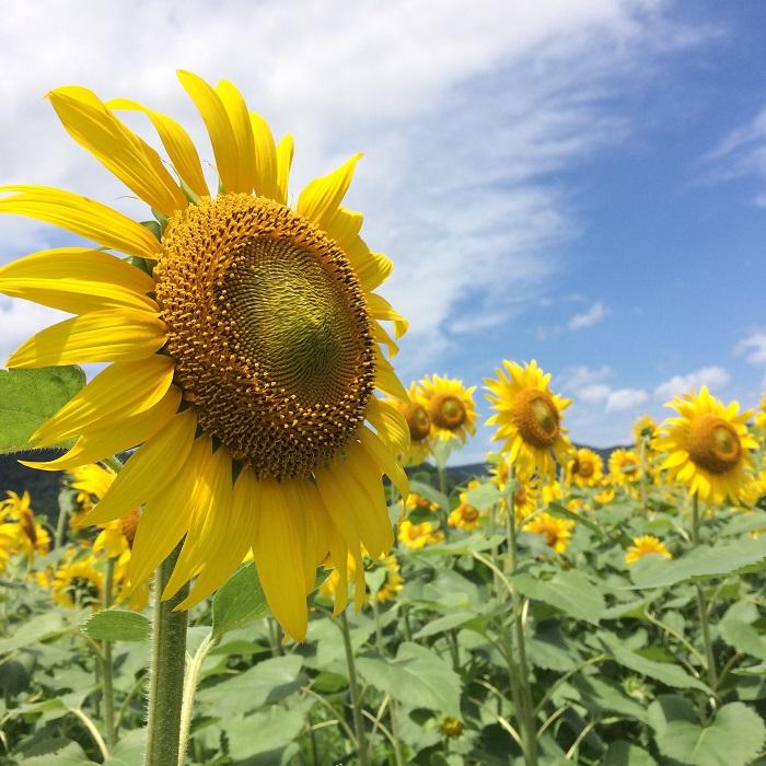 ▼開花期間中は仮説の花見台を設置予定です。