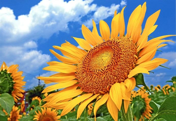 東京都武蔵村山市で平成24年度から開園しているひまわりガーデン武蔵村山。ボランティアの方々によってまかれたひまわりの種が満開時には約50万輪の花となり咲き誇ります。都内最大級のひまわり畑として、毎年多くの来場者を楽しませています。