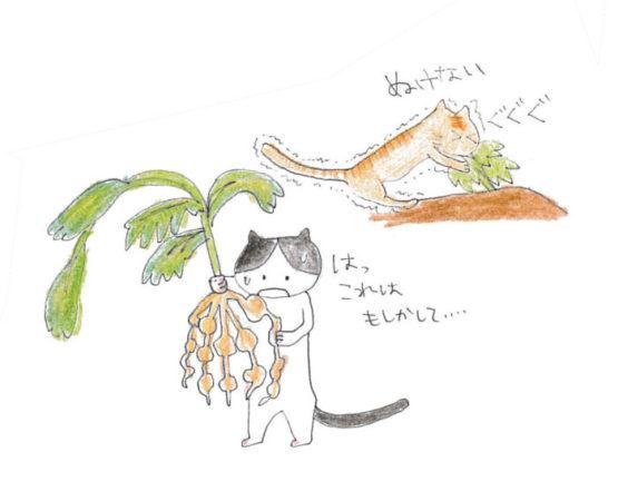 土の中に生息する1mm以下のセンチュウで、植物の根の養分を吸います。その被害部分が大小のこぶのような形になります。 センチュウに侵された根は、充分な水分や養分を吸収することができず最後には枯れてしまいます。 もしかして、生育中も野菜の状態が悪かったのではないでしょうか。 センチュウの大きさが1mm以下のため、肉眼で早期に発見することは難しいため、このように作物を抜き取るタイミングに、しっかりとセンチュウの存在を確認する必要があります。