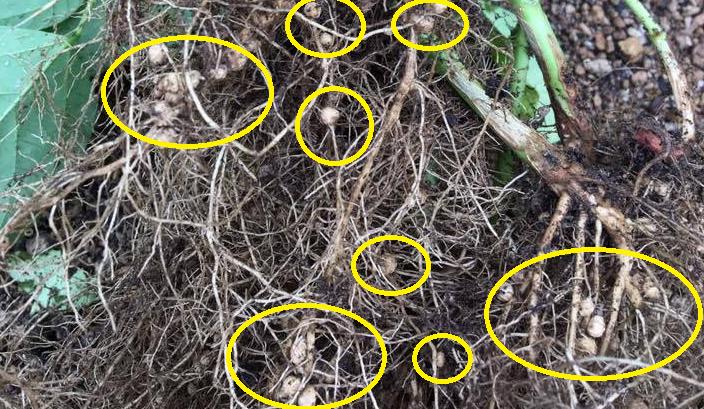 ちなみに、上の画像は枝豆の根の部分です。  こぶのようになっている個所は、ネコブセンチュウではありません。マメ科特有の根粒菌というものです。  根粒菌とは  この粒の中には根粒菌という微生物が存在しています。この根粒菌の働きは、大気中の窒素からマメ科の作物の中に植物の三大栄養素のひとつである「窒素」を取り入れる働きをするものです。  つまり、根粒菌はマメ科の作物へいい影響を与えるものです。ネコブセンチュウとは全く異なりますので、注意しましょう。  皆さんが抜き取ったパプリカの苗はいかがでしたか?ネコブセンチュウだった方は、思い返してみて下さい。生育期間中も、何だか調子が悪いと感じていませんでしたか?その原因は、ネコブセンチュウの仕業だったかもしれませんね。