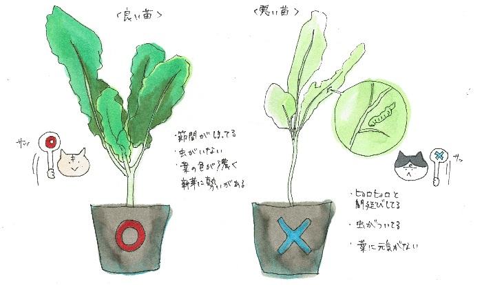 植え付ける秋冬野菜が決まったら、今度は苗選び。初期生育の良い苗は、大きく元気に生育するので、この時の苗の見極めもなかなか大事なんです。  A. ポイント1〜葉 葉の緑が濃く、厚みがあるもの。元気そうな濃い緑の葉をしっかり目で確かめよう。  ※ホームセンターや園芸店で、葉をやみくもに触るのはNG! お店への配慮あるマナーを心がけましょう。  A. ポイント2〜病害虫 葉の表だけでなく、裏面もチェックしながら虫がついて弱っていないか確認しましょう。  A. ポイント3〜新芽 新芽に勢いがあるものは、今後の生育にも勢いがあります。元気な苗を選んでくださいね。  A. ポイント4〜節間 ヒョロヒョロと間延びして徒長していない、しっかりした苗を選びましょう。