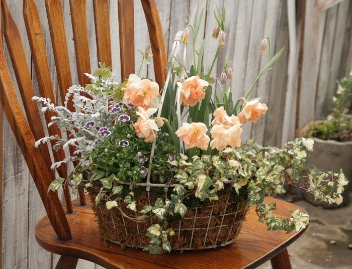 寄せ植えのポイント  バタフライスイセンのひらひらした形と壺のようなフリチラリアを合わせて、  フォルムのコントラストを付けました。  ワイヤー製の軽い器に植えて持ち運び自由に飾ります。  寄せ植えに使った球根  写真真ん中がバタフライスイセン「パルマレス」、写真奥がフリチラリア「ウババルピス」です。  その他の植物名  写真左奥から手前に、ヘレボルス、シロタエギク、ネモフィラ「クレオパトラ」、アイビー「ゴールデン・ジッタ」を植えました。