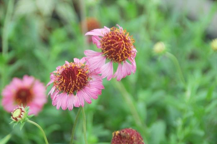 今、美しく咲いているおすすめは、ガイラルディア グレープセンセーションです。  キク科の半耐寒性多年草で、花期は5〜10月頃です。茎を長く伸ばして咲いて、花びらが落ちた後の丸いポンポンもかわいいです。ナチュラルなガーデンづくりにおすすめです。  河野自然園のオフィス入口にも植えているお気に入りの花です。