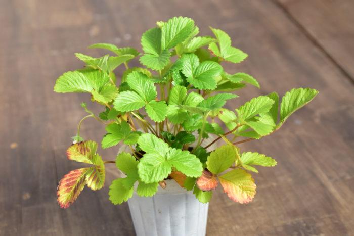 Botapii, ボタピー, 間室みどり, クリスマス, 冬の寄せ植え, 寄せ植え, 赤色の寄せ植え, ワイルドストロベリー, かわいい寄せ植え