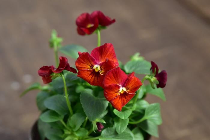 Botapii, ボタピー, 間室みどり, クリスマス, 冬の寄せ植え, 寄せ植え, 赤色の寄せ植え, ビオラ, かわいい寄せ植え