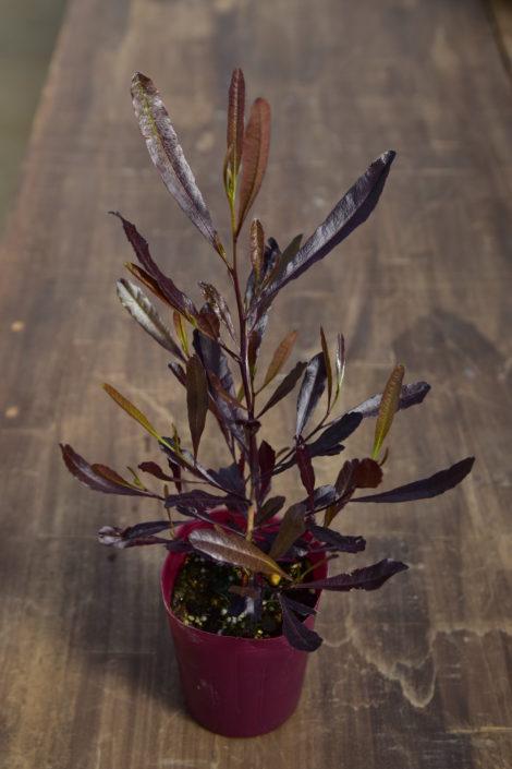 Botapii, ボタピー, 間室みどり, クリスマス, 冬の寄せ植え, 寄せ植え, 赤色の寄せ植え, ドドナエア, かわいい寄せ植え