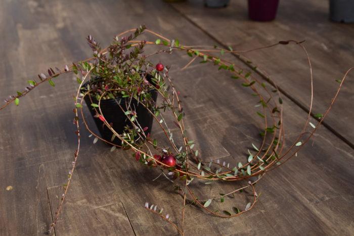 Botapii, ボタピー, 間室みどり, クリスマス, 冬の寄せ植え, 寄せ植え, 赤色の寄せ植え, クランベリー, かわいい寄せ植え