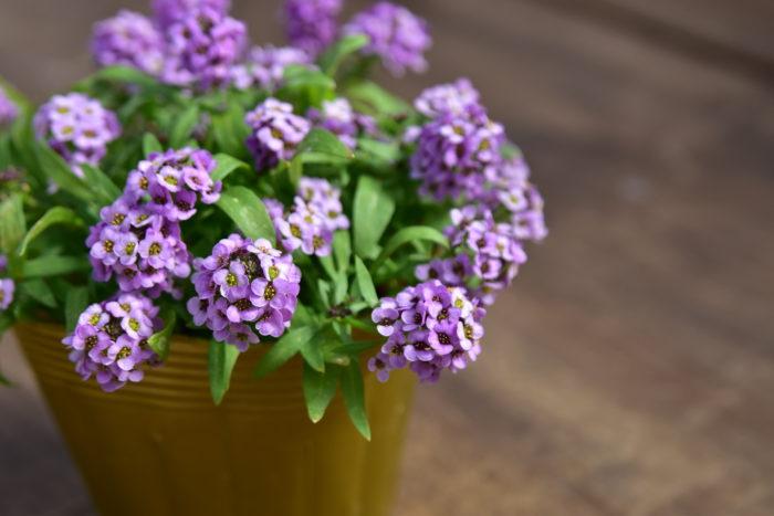 Botapii, ボタピー, 間室みどり, クリスマス, 冬の寄せ植え, 寄せ植え, 赤色の寄せ植え, アリッサム, かわいい寄せ植え
