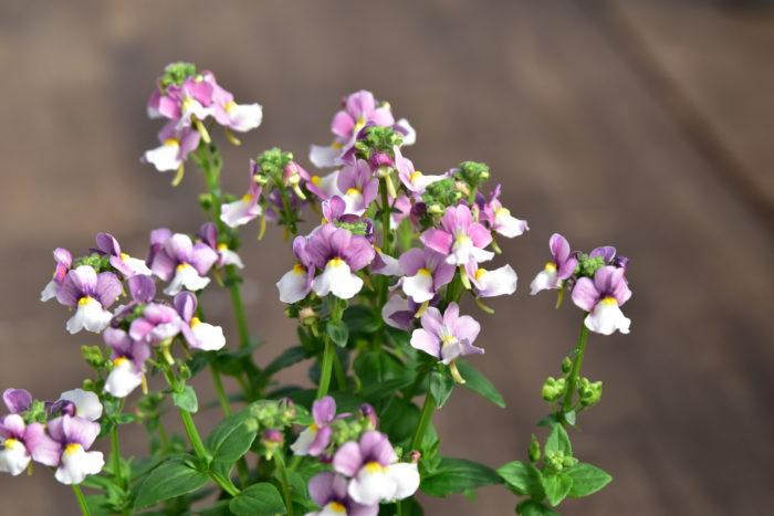 Botapii, ボタピー, 間室みどり, クリスマス, 冬の寄せ植え, 寄せ植え, 赤色の寄せ植え, ネメシア, かわいい寄せ植え