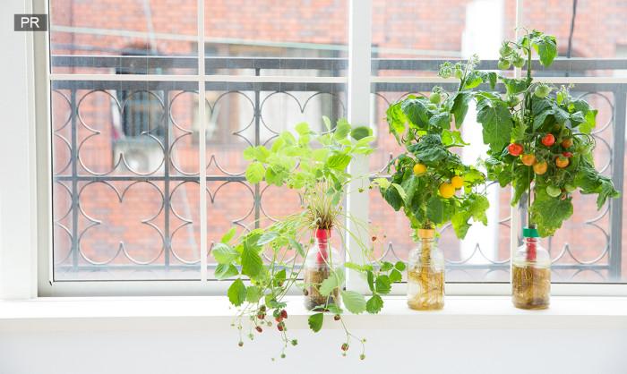 私にもできた!ペットボトルの水栽培で野菜を大量収穫! [PR ...