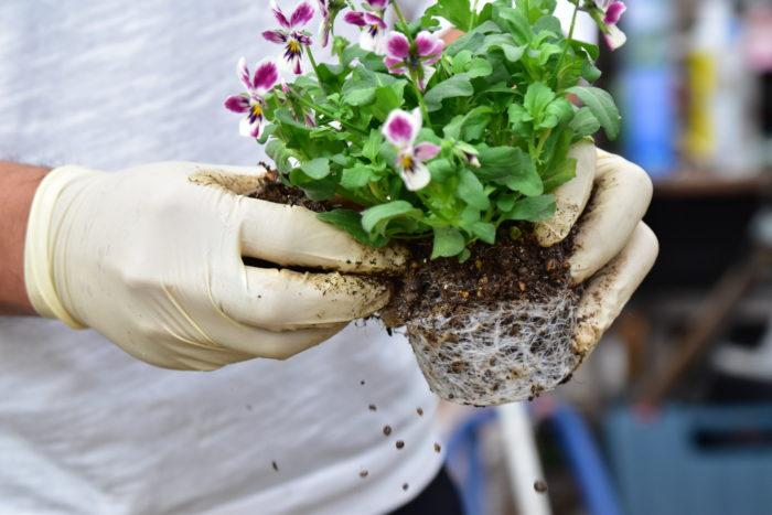 肩と呼ばれる根鉢の縁の部分の土を落とし、丸くする。寄せ植えをしたときに、他の植物の葉と重なって見えなくなる部分や、株の内側に生えている蒸れやすい葉は必ず取り除く。