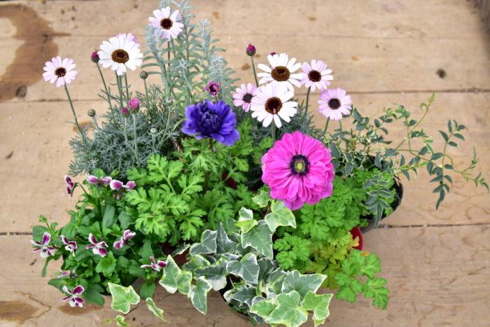 2.植え付ける前に寄せ植えに使う花苗を並べて、ある程度のレイアウトを決める。