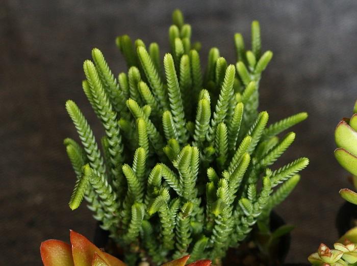 クラッスラ・若緑(わかみどり):ベンケイソウ科  茎葉が棒のようにぐんぐんと伸びて背丈が高くなります。夏の直射日光は避け、日当たりと風通しの良い場所で育てます。過湿が苦手です。長雨や霜にあたらなければ屋外で越冬できます。