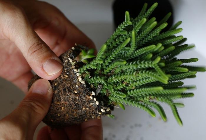 後ろ側に植える背の高い多肉植物から、根をほぐして土を落としながら株分けします。  今回は株分けした1/3を寄せ植えに使いました。