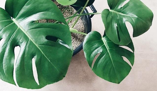 """モンステラは、葉が大きくて切れ目もかっこいいことから人気のある観葉植物です。暖かい季節にはとても成長します。ンステラは、ハワイ語で""""湧き出る水""""という意味があるそう。ハワイでモンステラは神聖な植物とされ、魔除けの効果があるといわれているそうです。風水では、金運と良縁から恋愛運にも効果があるといわれているそうです。玄関はいい運を呼び込む場所なので玄関に置いてみてはいかがでしょうか。"""