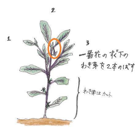 一番花の下のわき芽を2本伸ばす。それより下のわき芽はカットしましょう。