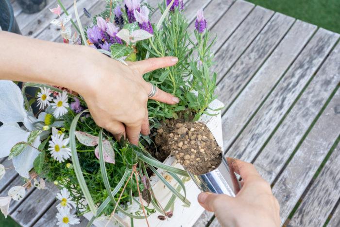 土を外側一周しっかり入れ、中心の苗の周りにも入れる。完成後の水やりは根元にたっぷりと。