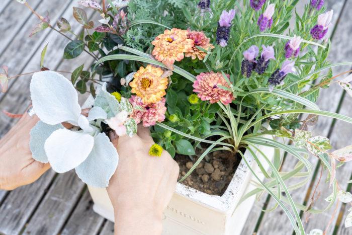 背の低いセネシオとブラキカムは前方に植える。手前に倒し気味に植えると自然な雰囲気に仕上がる。