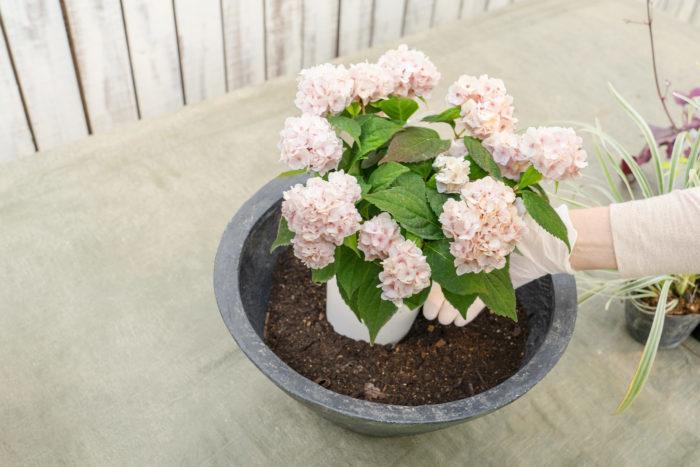 2. 鉢の部分が一番高さがある苗を置いて、土の高さを決めます。寄せ植えの中心となるヤマアジサイから植えていきます。
