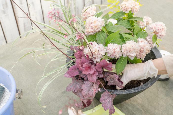 3. ヤマアジサイの後方にコデマリとミスキャンタス、左手前にヒューケラを植えます。