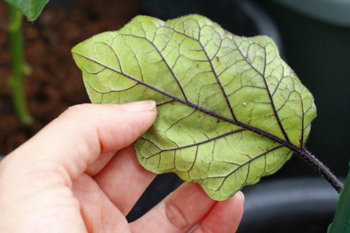 アブラムシやハダニなどの害虫が植物の汁液を吸うので、葉がかすれたような状態になります。一見すると病気と見間違いそうな葉の状態です。食害性の害虫よりも小さい虫ですが、大量に発生して被害を拡大させます。