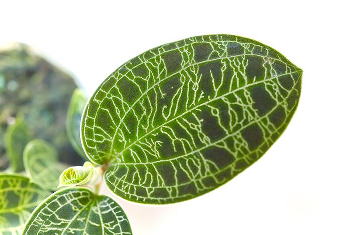 Macodes petola  マコデス・ペトラ アップ
