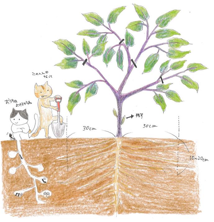 せっかく生長している根を切るって、なんか苗が死んでしまうような気がしますが…でも大丈夫です♪  ナスの側根や細根をスコップで断つことで、また新たに根を増やす作用があるからです。また、スコップで土に差し込むことで雨が降って固くなった地面に空気を与えることができるのです。