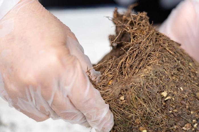 今回使ったベロニカの根の部分はこのように張っていました。まず、苗の肩の土を落とし、次に根の土をくずします。根をくずす時は、指を底の部分に入れて根を優しく開くイメージで行います。  また、梅雨や夏の高温多湿時に寄せ植えを作る時は、株元の葉を数枚取って植えると、風通しが良く蒸れ防止になり、植物が良く育つそうです。
