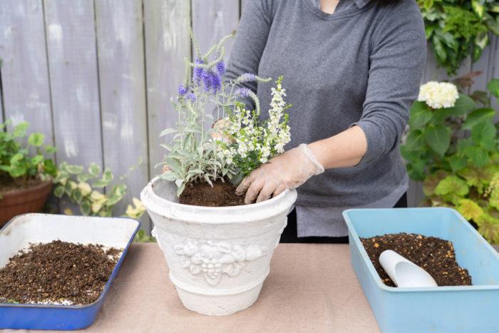苗がかわいく見える向きを考えながら、アンゲロニアをベロニカの隣に植えます。