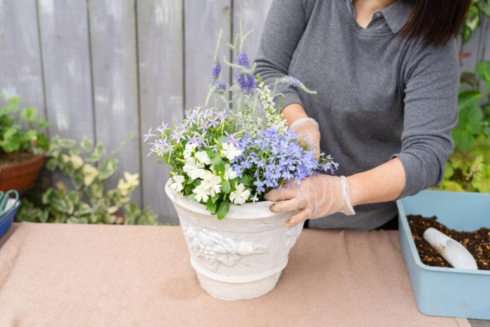 イソトマ、ニチニチソウ、ロベリアの順に植えます。手前の苗は少し前に向かって倒すと、苗が窮屈になることなくふんわりと植えることができます。
