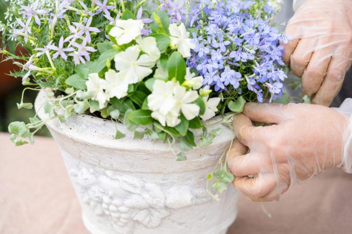 ディコンドラは複数に株分けし、両側に植えます。鉢の縁に巻き付け、縁からちょっと出ている感じを出すと、可愛さが増すそうです!