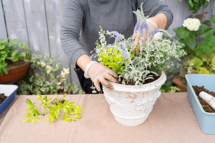 デュランタライムも複数に分け、空いている場所に植えます。ライム色がちりばめられ、爽やかさが倍増しますね!