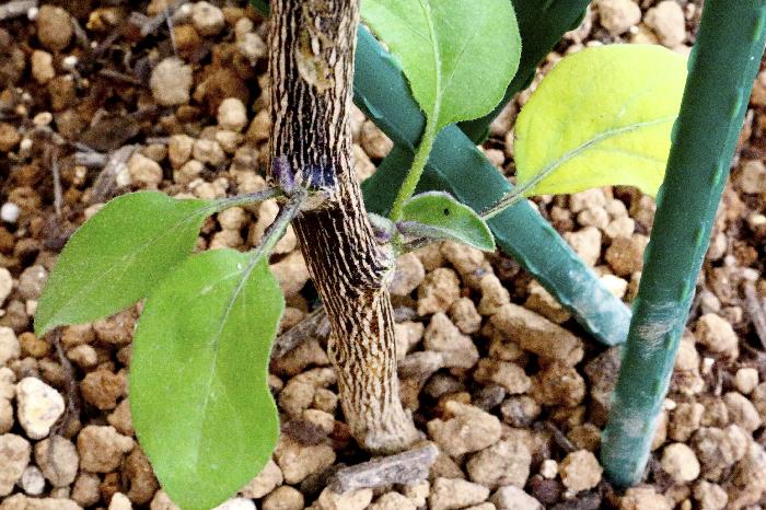 枝を思いっきり剪定して、葉が無くなったら、そもそも光合成ができずに、枯れてしまうのでは…と心配してしまいますよね。  ナスは、根がしっかりと生長し、栄養を土壌から吸収できるようになっていれば、今後も育ちますので安心してください。もし、切り戻す前に元気なわき芽が出ていたら残しておきましょう。